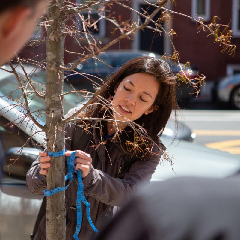 Volunteer measuring a tree